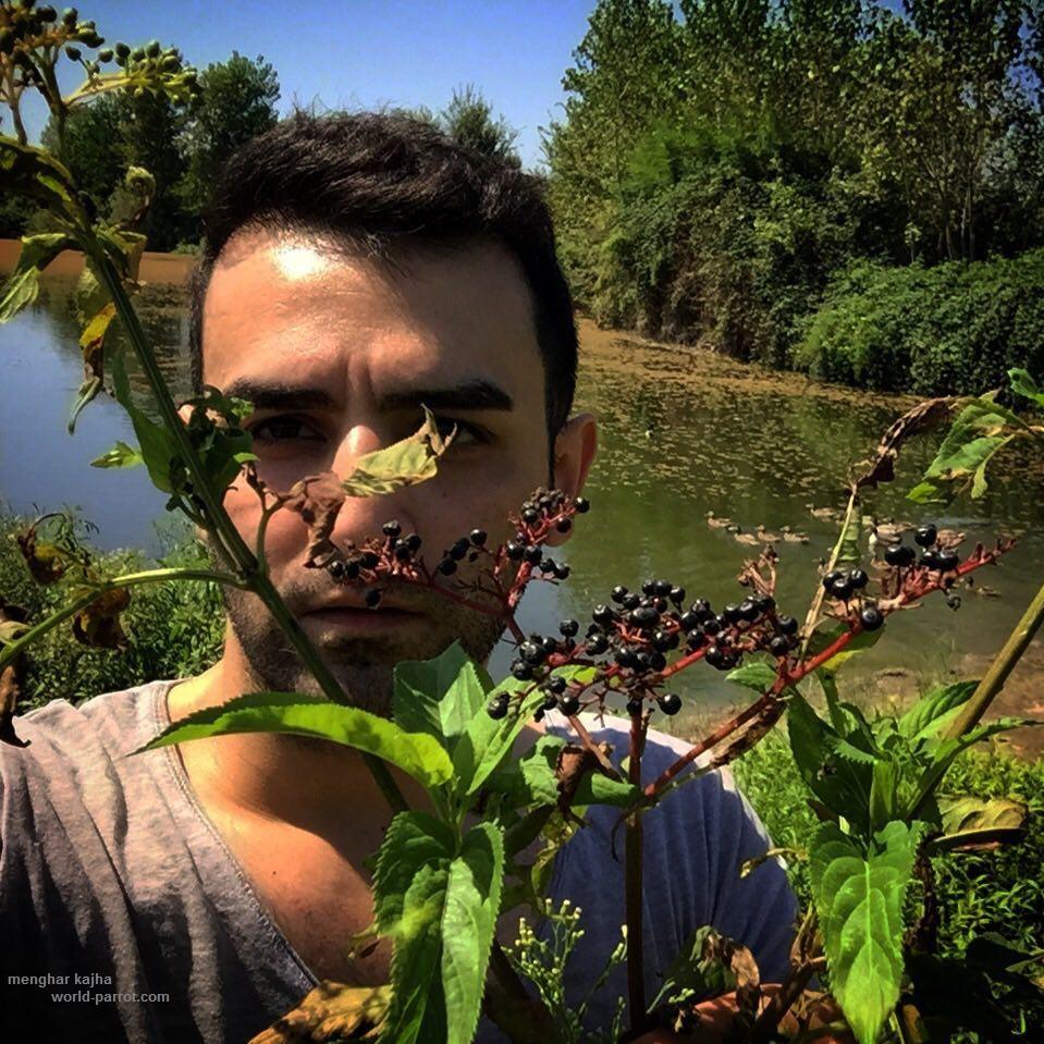 انگور کولی سامبوکوس یا آقطی سیاه