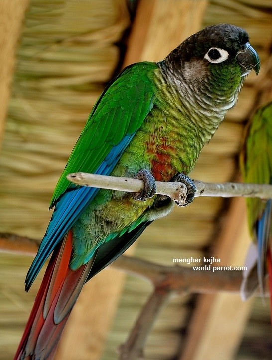 Green Cheeked Conure
