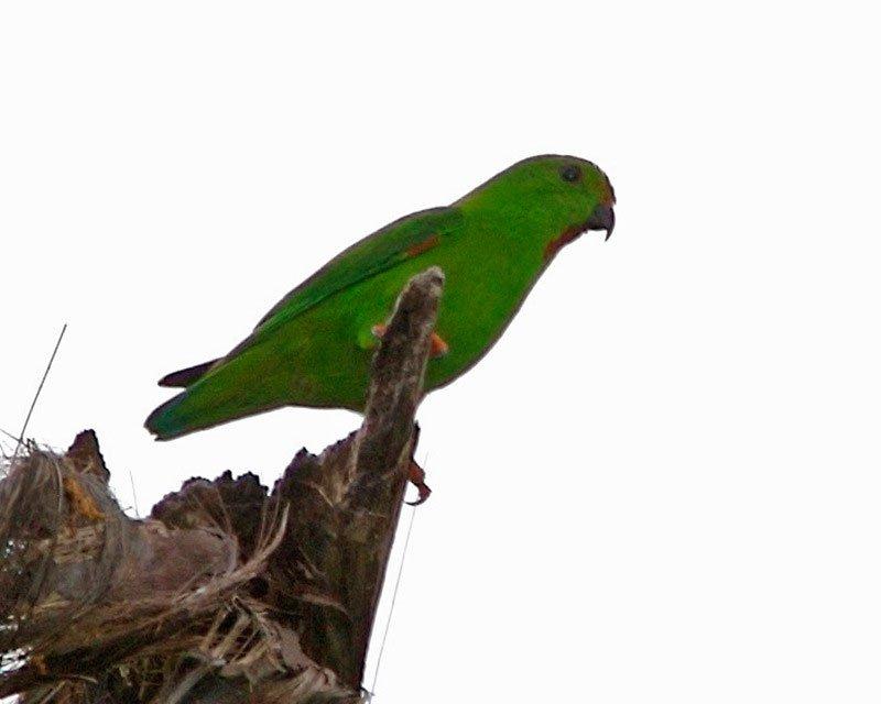 طوطی خفاشی پیشانی سبز