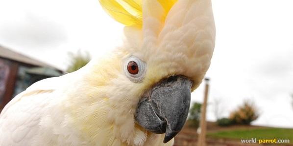 طوطی های کاکادو