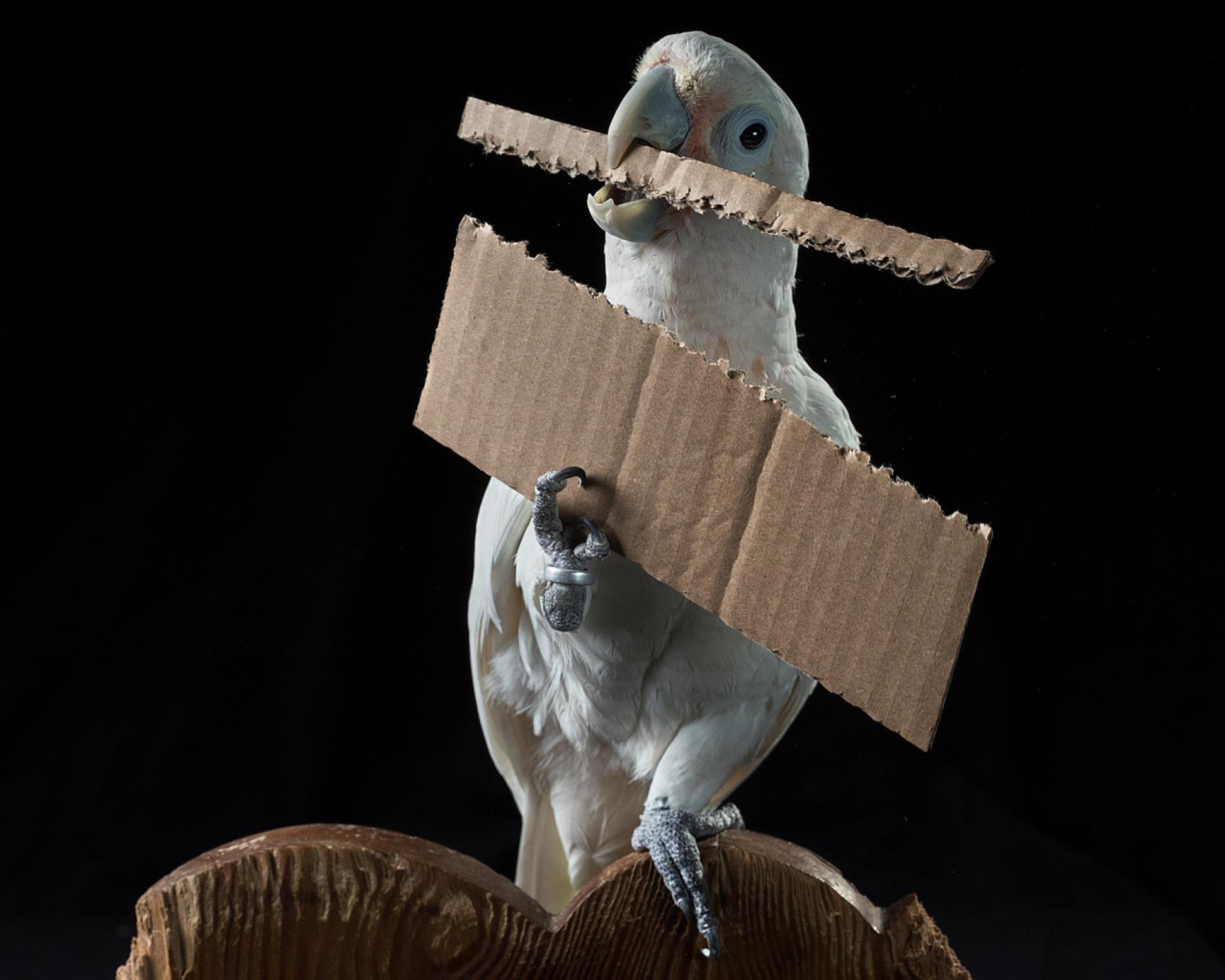 سارق طوطی دزد