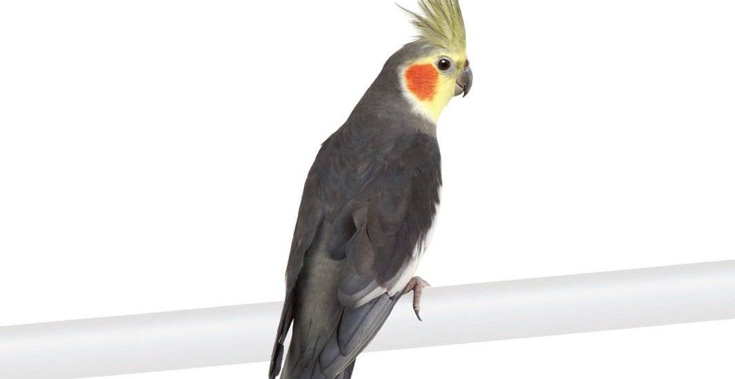 پرنده طوطی عروس هلندی