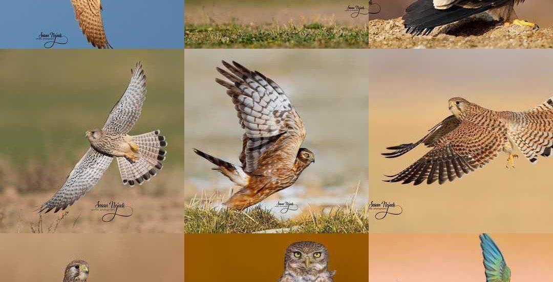 لیست کامل پرندگان ایران و وضعیت آنها