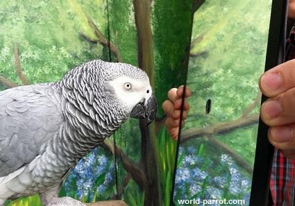 خطرات و عوارض استفاده از آینه بعنوان اسباب بازی برای طوطی ها