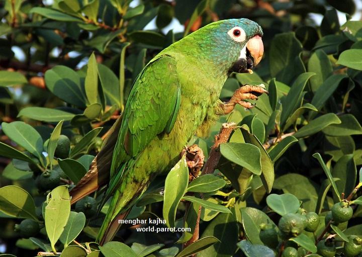 آراتینگای تاج آبی Blue-crowned Parakeet
