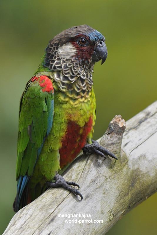 Painted Parakeet کانور رنگ شده نقاشی شده