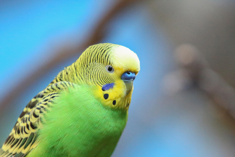 علائم اولیه بیماری ها در پرندگان زینتی