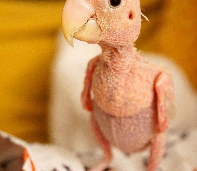 بیماری های رایج پرندگان زینتی طوطی سانان