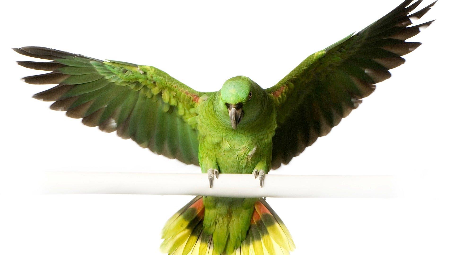 پر و بال کتف پرنده