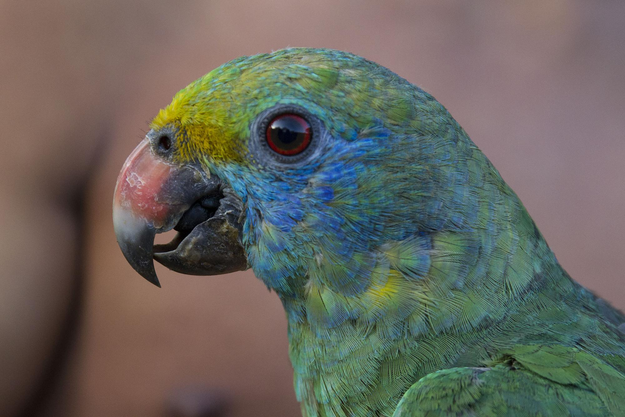 امازون گونه آبی یا لپ ابی Blue-cheeked Amazon