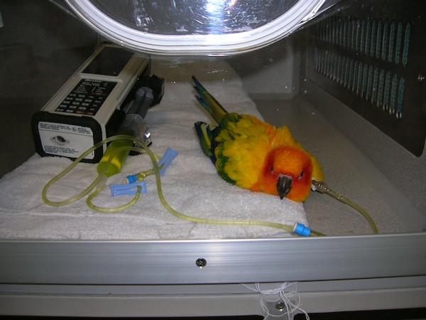 Conure-sun-ICU-cage-fluids-width-pacheco-virus