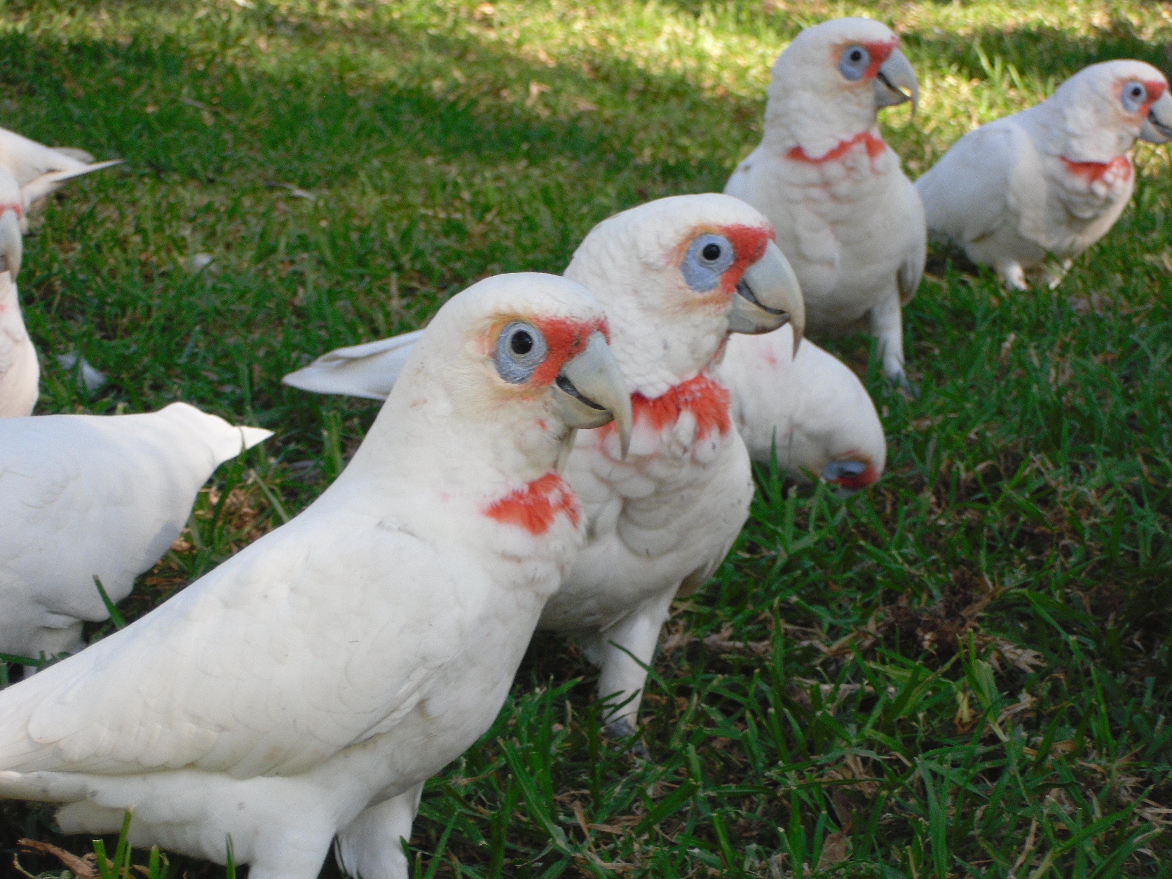 رژیم غذایی طوطی تغذیه کاکادو