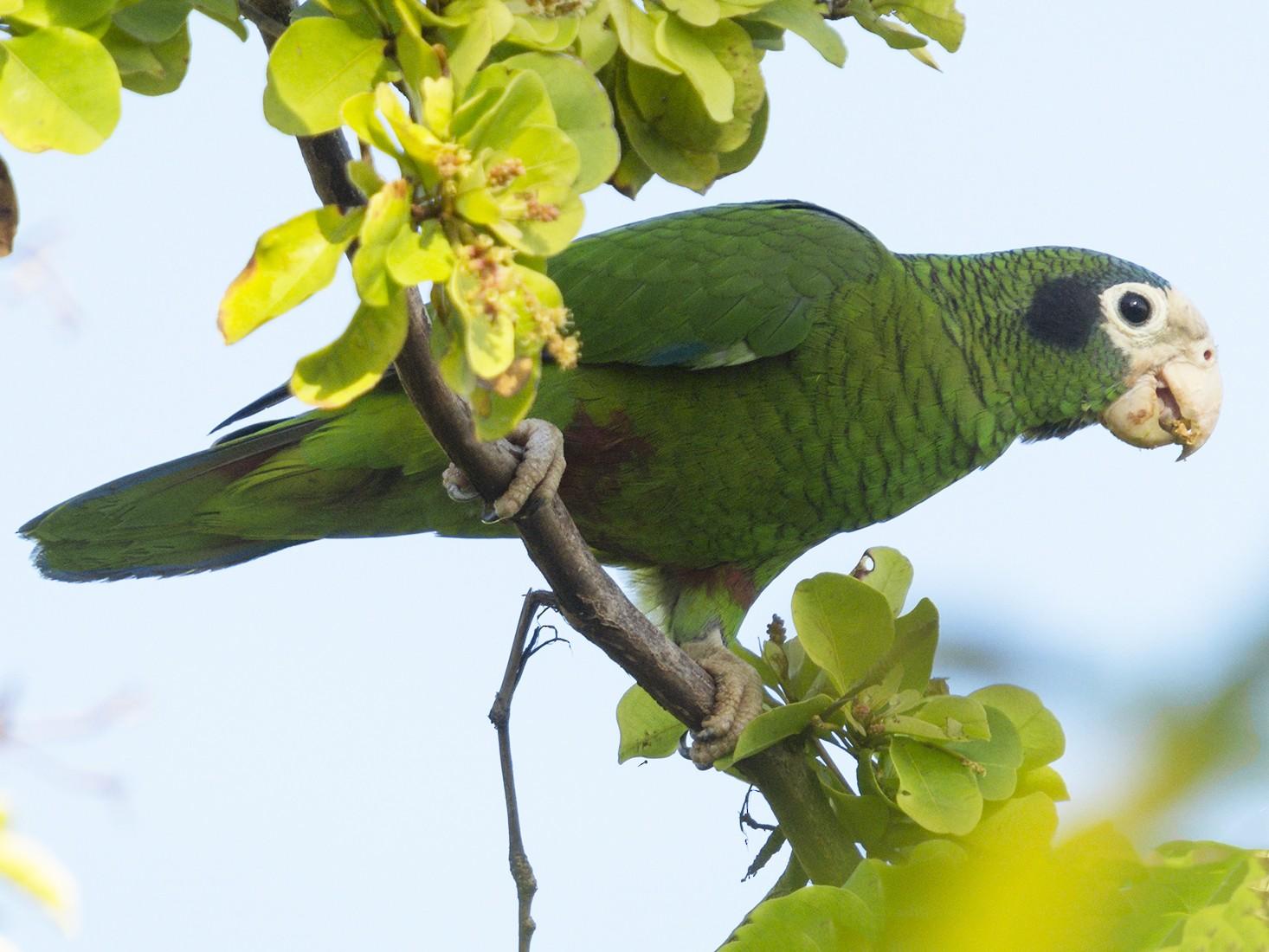 Hispaniolan Amazon