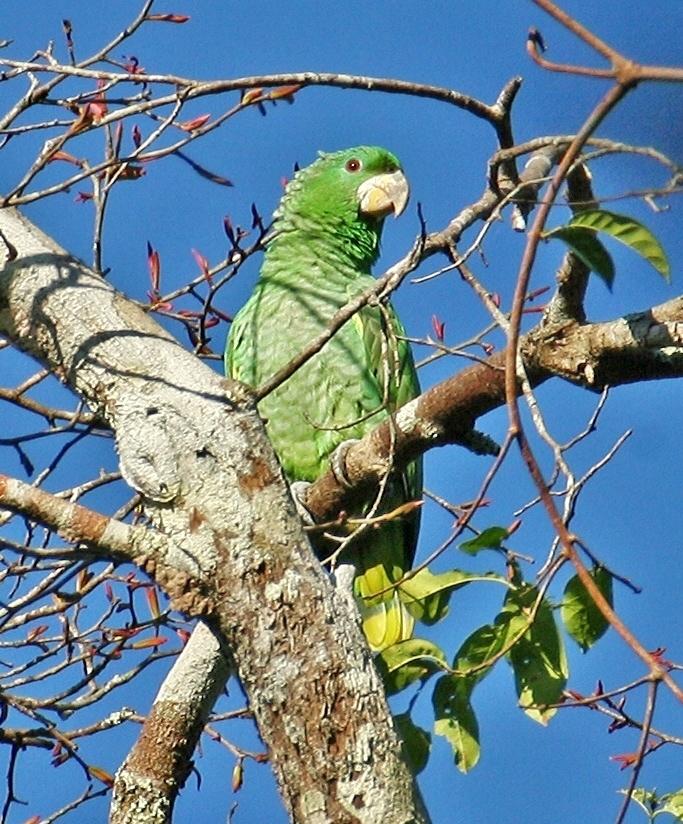 Kawalls Amazon طوطی آمازون کاوالس