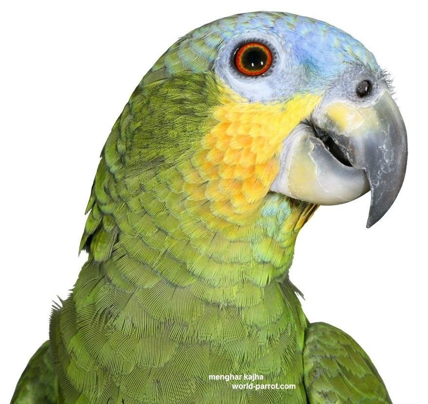 طوطی آمازون بال نارنجی, طوطی سبز افریقایی, کاسکوی سبز, کاسکوسبز, نگهداری طوطی امازون, پرندگان امازون, سایت امازون