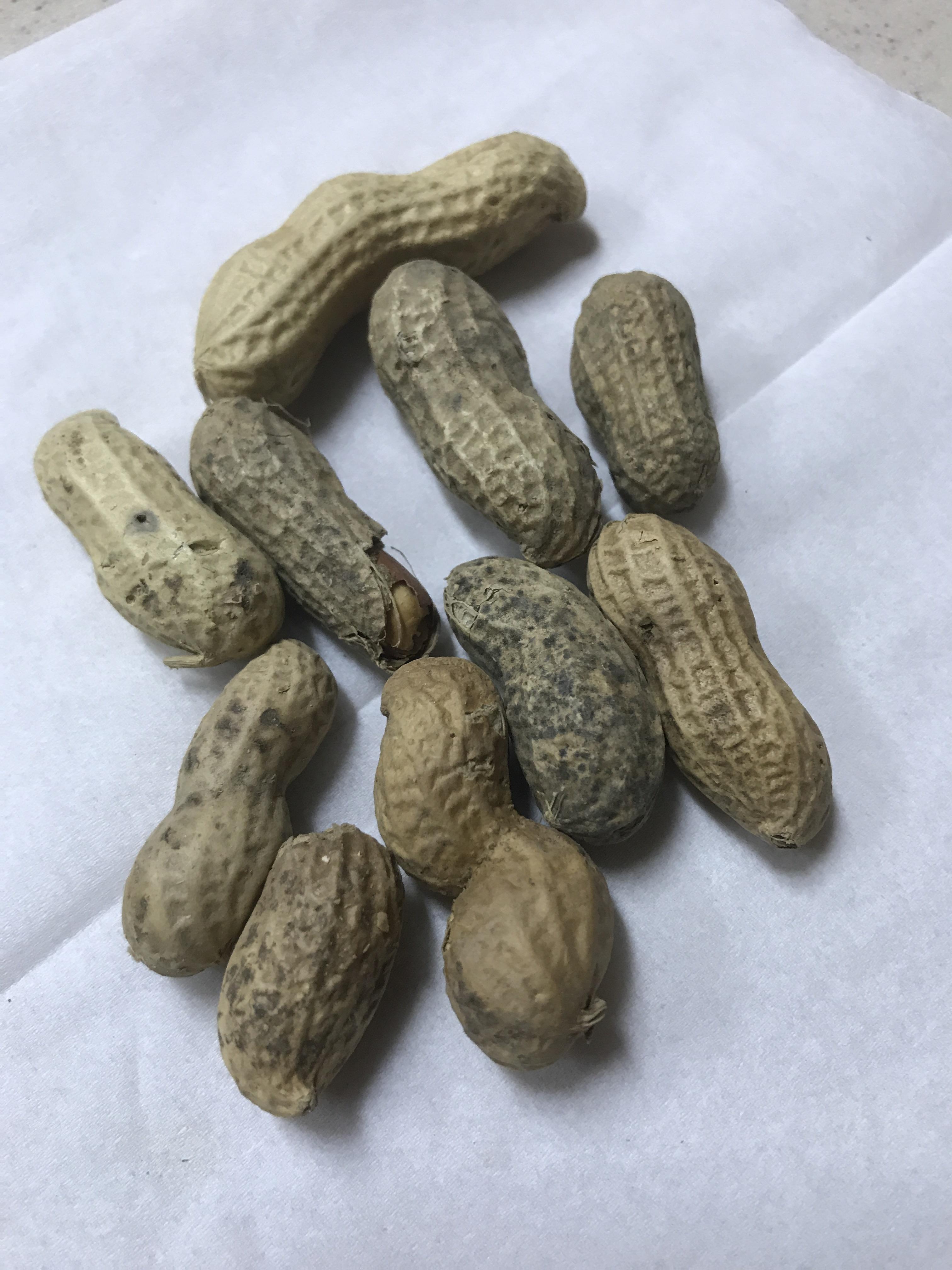 Peanut بادام زمینی برای طوطی