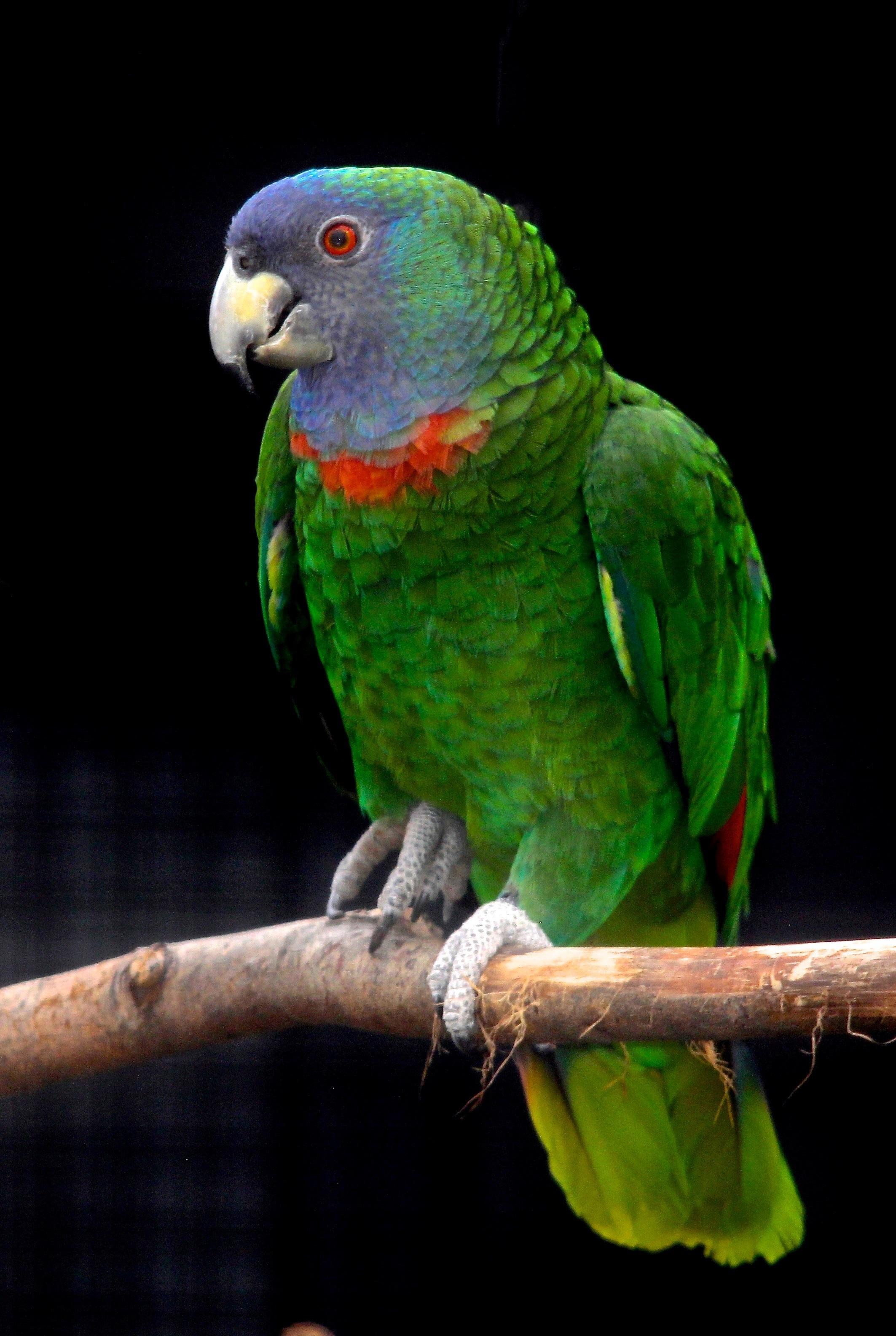 طوطی آمازون گردن قرمز Red-necked Amazon