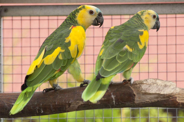 طوطی آمازون سرشانه طلایی Turquoise-fronted amazon