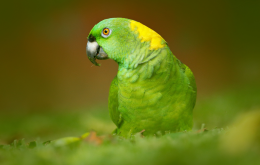 طوطی آمازون پشت گردن زرد طلایی