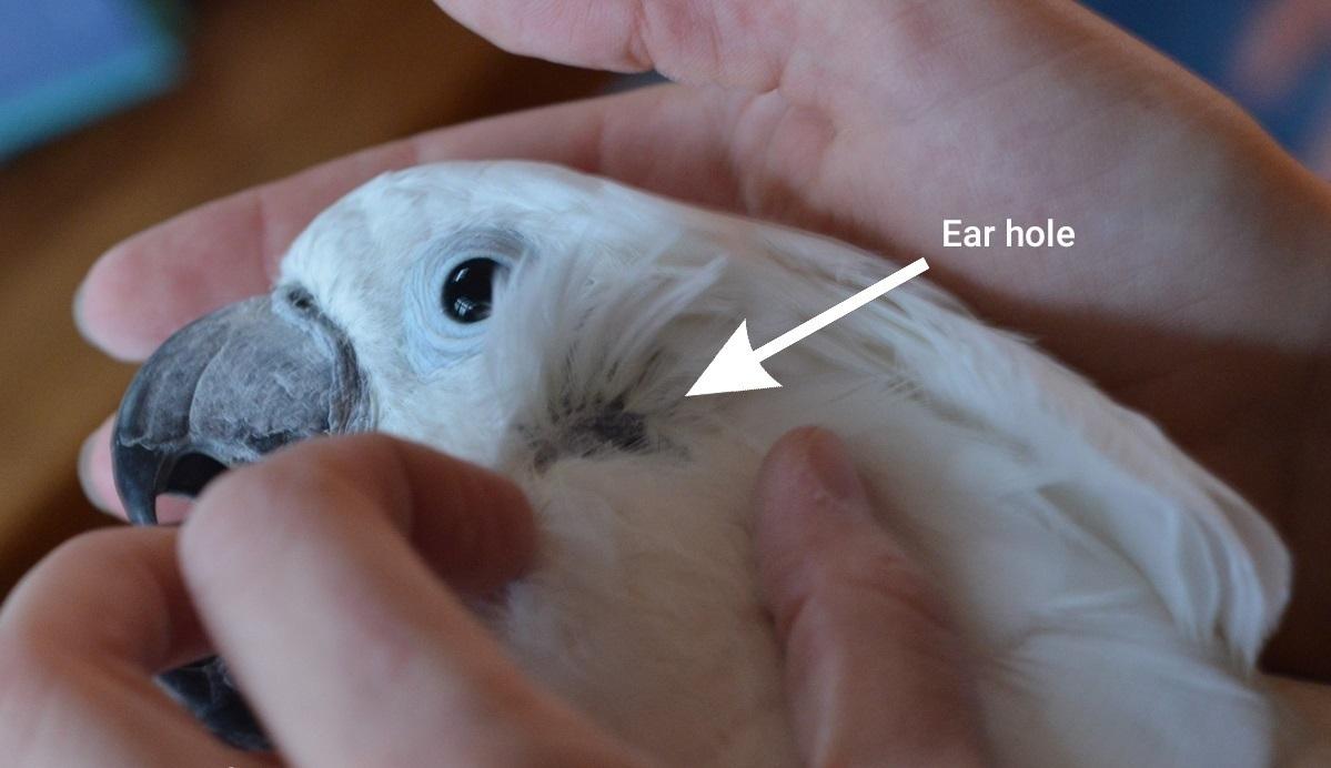 گوش طوطی
