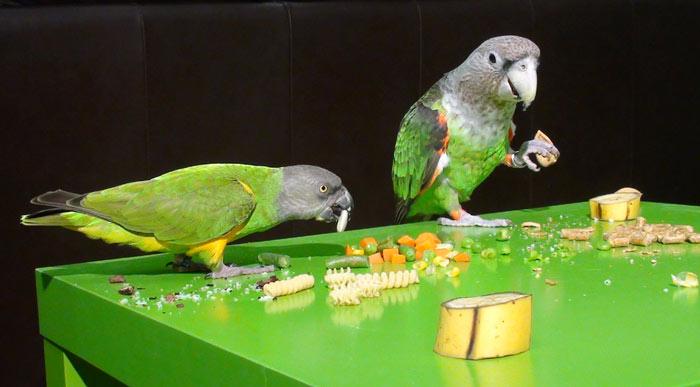 راهنمای تغذیه غذای طوطی های کوچک