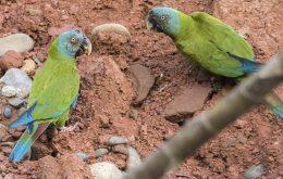 Blue-headed Macawماکائوی پیشانی ابی
