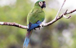 Chestnut fronted Macaw ماکائو پیشانی بلوطی
