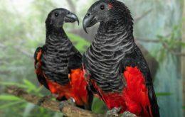 Pesquet's Parrot