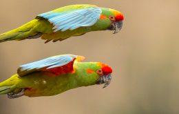 Red-fronted Macaw ماکائو پیشانی قرمز