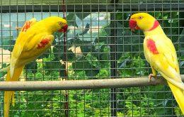 شاه طوطی زرد رنگی