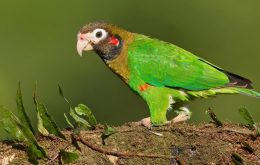 brown-hooded-parrot