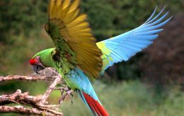 Military Macaw ماکائو ارتشی