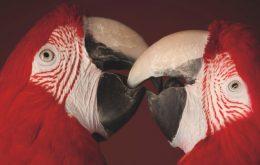 Scaelet Ara Macaws