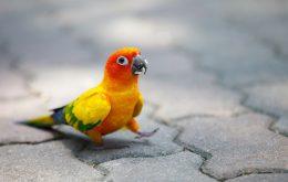 سان کانور طوطی خورشیدی پشت زرد