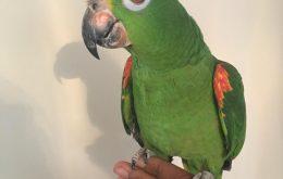 amazon parrot pet