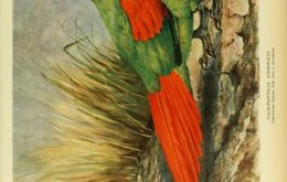 African Rodrigues Parrot