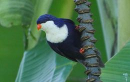 Blue Lorikeet