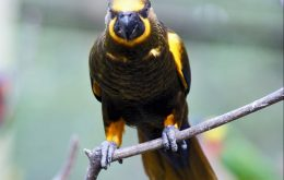 Brown Lory