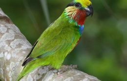 Edwards Fig Parrot