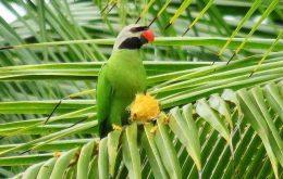 Nicobar Parakeet
