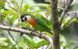Orange Breasted Fig Parrot