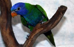 Pinterest Blue-fronted Lorikeet