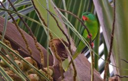 Red-chinned Lorikeet