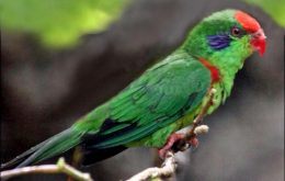 Red-fronted Lorikeet