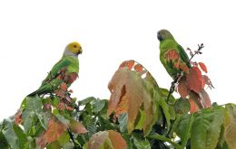 Song parrot
