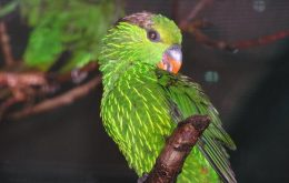 Striated Lorikeet