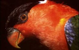 White-naped-Lory