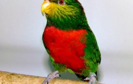 Yellow-billed Lorikeet