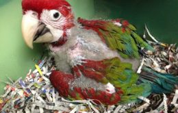 Baby Parrot Forsale
