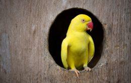 Ring Necked Parakeet Yellow